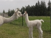 alpaca-mother-and-cria-touching-noses