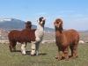 alpaca-trio