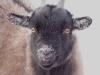 goat-pygmy
