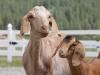 goats-nanny-kid
