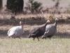 guinea-fowl-3
