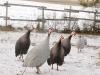 guinea-fowl-4