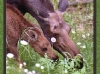 moose-and-calf-eating
