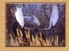 moose-bull
