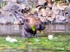 moose-eating-waterlilies