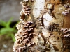 birch-tree-bark