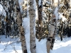 birch-trees-in-snow