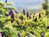 black-spruce-pine-cones