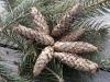 blue-spruce-cones