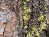 flabby-lichen