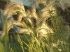 fox-tail-grass