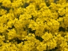 alyssum-basket-of-gold