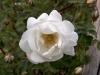 brambling-rose-white