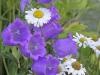 canterbury-bells-and-daisies