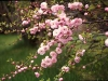 china-tea-rose