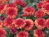chrysanthemum-orange