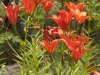 asian-lilies-orange