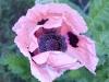 oriental-poppy-pink