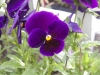 pansy-purple