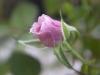 rose-bud-pink