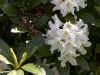 rhododendren-white
