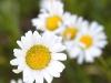 shasta-daisys