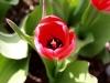 tulip-red