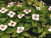 Bunchberry, Dogwood Flower cluster