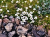 Lapland Diapensia