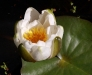 Waterlily, fragrant