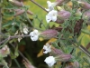 bladder-campion-white