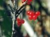 high-bush-cranberries