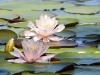 waterlilies-pink