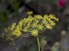 dill-seed-head-immature