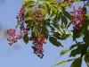 elderberries-red