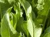 horseradish-leaves