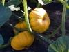 jack-be-little-pumpkins