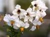 potato-blossom-white