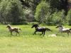 3-horses-running