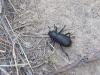 black-beetle