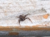 california-trapdoor-spider