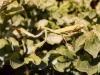 praying-mantis-female