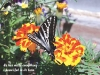 zebra-swallowtail