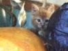 harvest-kitten