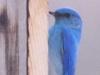 mountain-blue-bird
