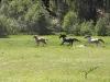 horses-running