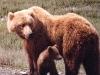 bear-with-cub