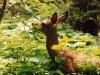 deer-mule