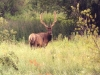 elk-bull