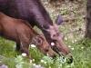 moose-cow-calf-eating